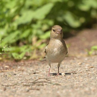 Common chaffinch, female (Fringilla coelebs)