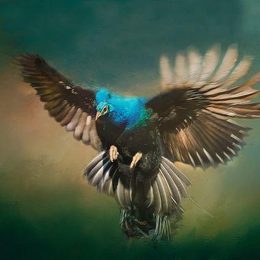 Peacock Descending