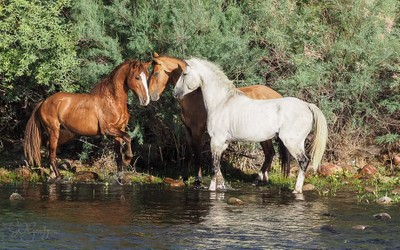 Morning greeting.     Wild horses along Arizona's Salt River.