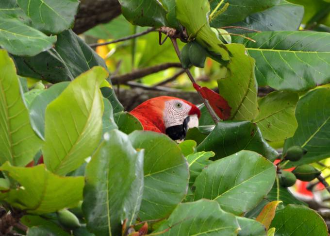 A Scarlet Macaw hides behind the leaves of a Almendro Tree.