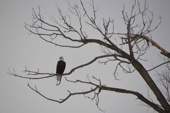 A bald eagle sits on the branches of a tree during a harsh winter storm.