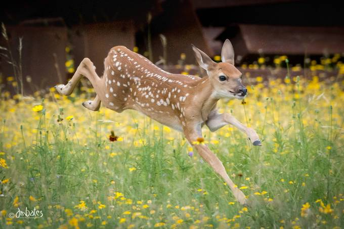 Whitetail fawn burning off youthful energy. by dmbates - Small Wildlife Photo Contest