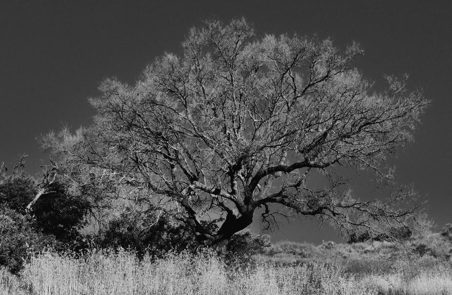 B:W Oak