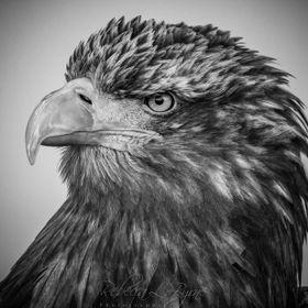 Taken at this year's Bath and West Show , this is the beautiful and stunning Golden Eagle of the fantastic Birds of Prey Displays. Nikon D7100