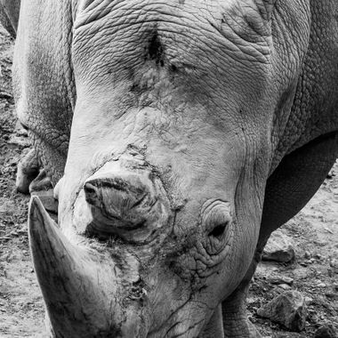 a beautiful close up portrait of a rhino in black and white