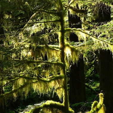 Mossy Tree in Mt. Hood National Forest