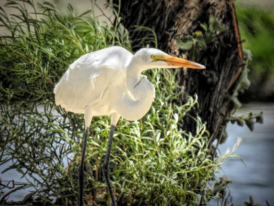 Egrets...I have a few