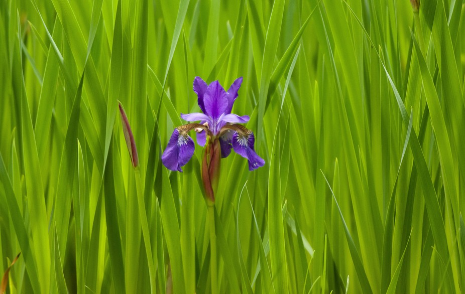 While taking pictures of hummingbirds, I got bored and found a patch of wild Iris flowers.  I lik...