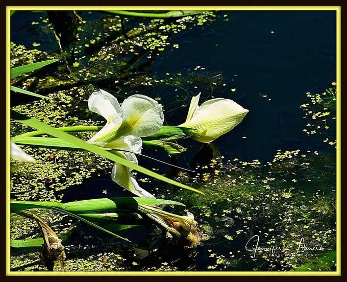 White Iris Over Swamp