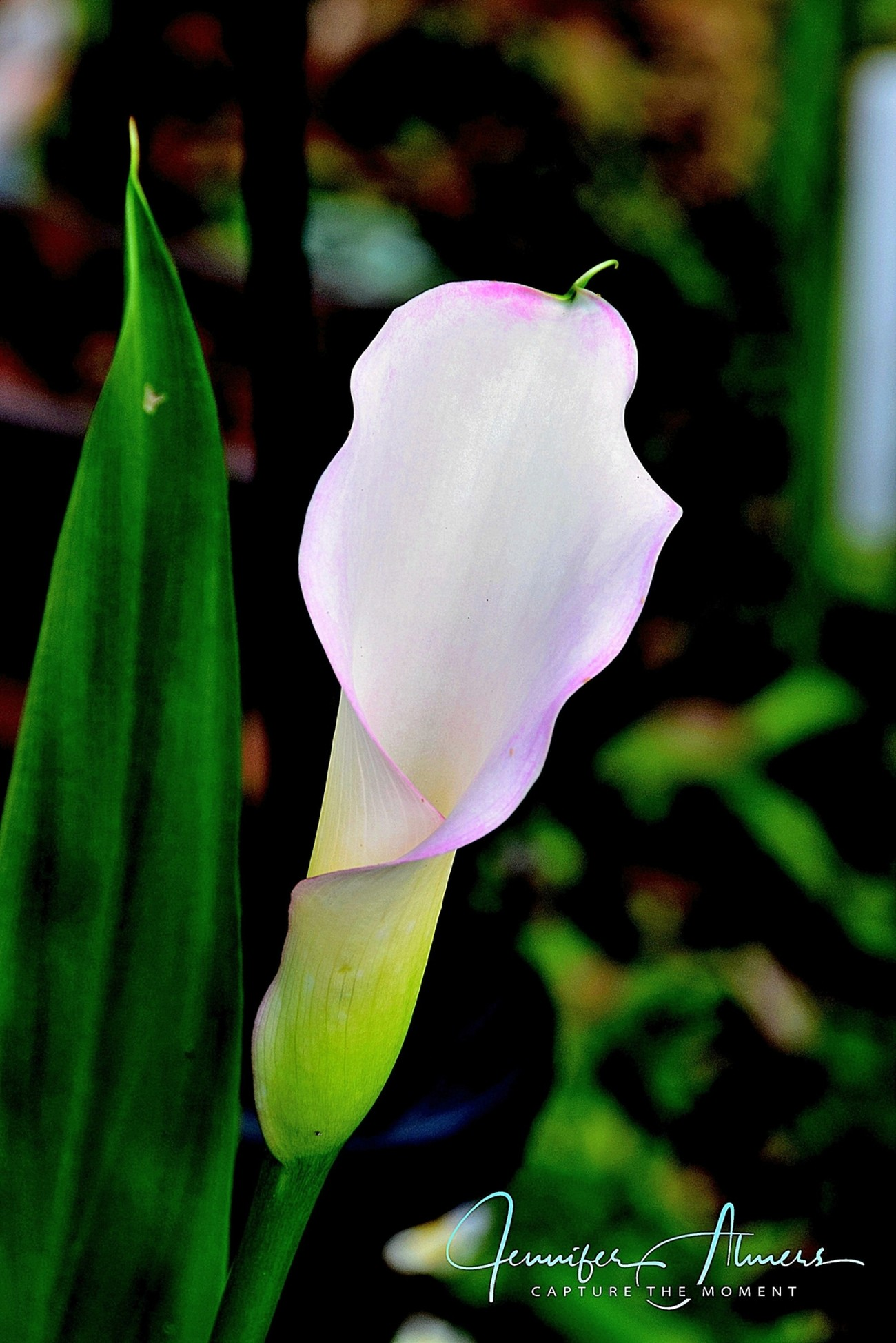 Pinkish White Calla