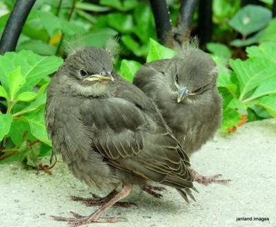 Juvinile Sparrows