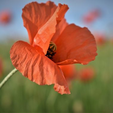 Loved this local poppy field taking lots of photographs happy to get this beautiful specimen .