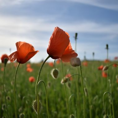 Lovely sunny day to explore this lovely field of poppies so beautiful !