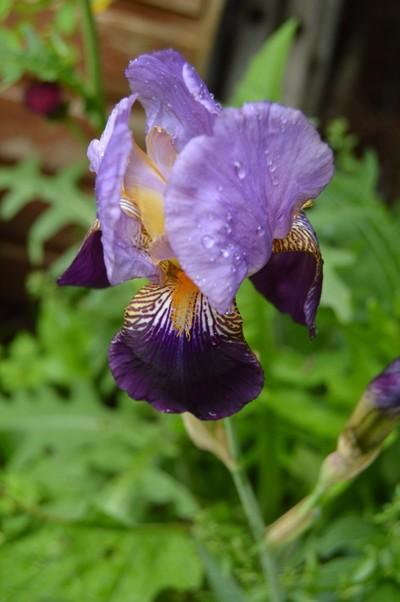 Bearded Iris in the Rain