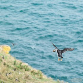 Skomer Island has a thriving puffin colony, after many visits I finally managed to catch some ariel shots. This was not as easy as it sounds, wit...