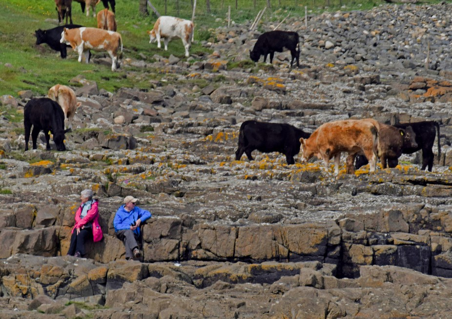 Bull's grazing on seaweed in rock pools. Taken at rocks at  Dunstanburgh Castle Northumberland UK.
