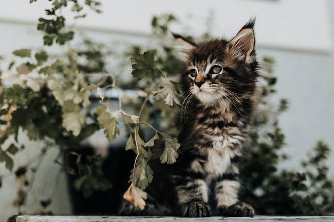 Maine coon kitten by tarakoenke