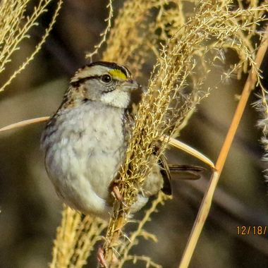 Immature White Throated Sparrow, Darnestown, MD IMG_3049_1