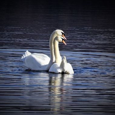 Lovely couple of swans on Loch Lomond caught a beautiful pose .