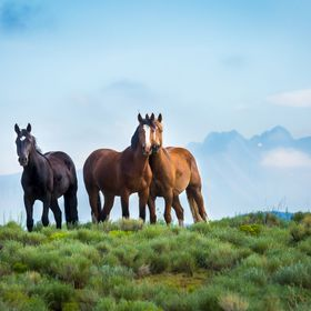 Three Wild Mustangs below the Rocky Mountains