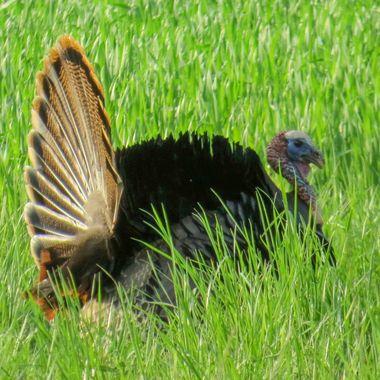 Wild Turkey, Poolesville, MD  IMG_3436_1