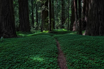 Clover in the Redwoods