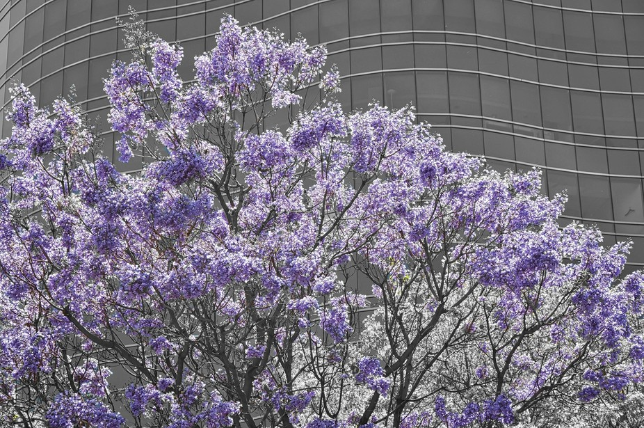 The whole city is full of these flowers in Spring