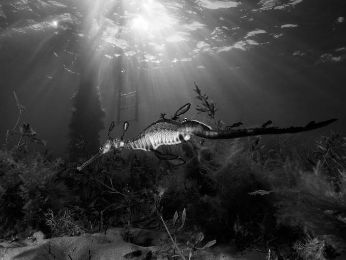 Black and white Sea Dragon by Ashley_Missen - The Natural Planet Photo Contest
