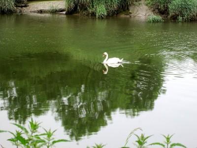 Swan 14 Mirror-image