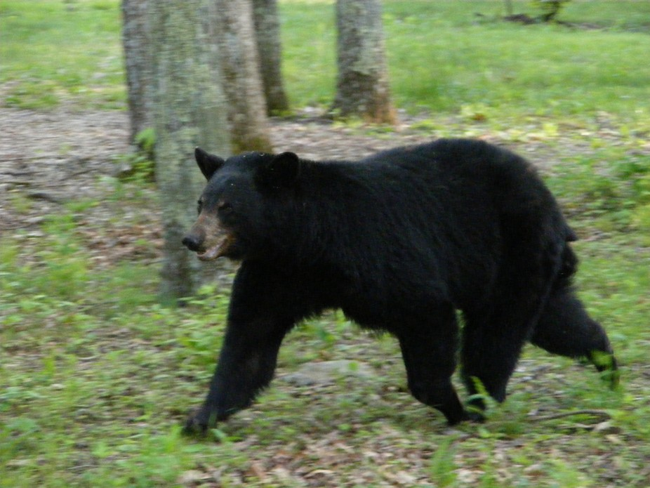 Shot this from a car window as the bear ran by.