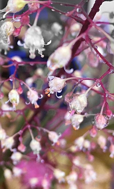 Heuchra flowers