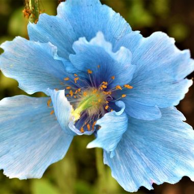 Himalayan Blue Poppy always stunning my favourite flower and captured  this beauty at st Andrews Botanical gardens