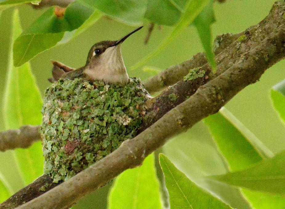 Hummingbird on nest 2