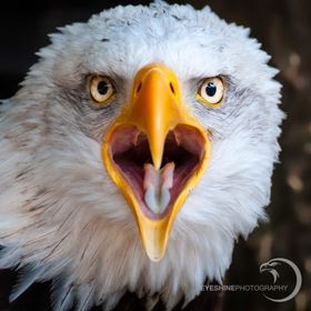 The majestic bald eagle is even more beautiful when you see his heart shaped mouth.