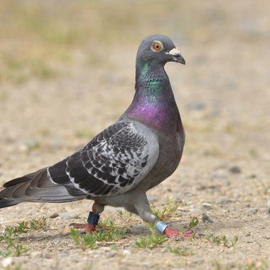 Racing postal pigeon