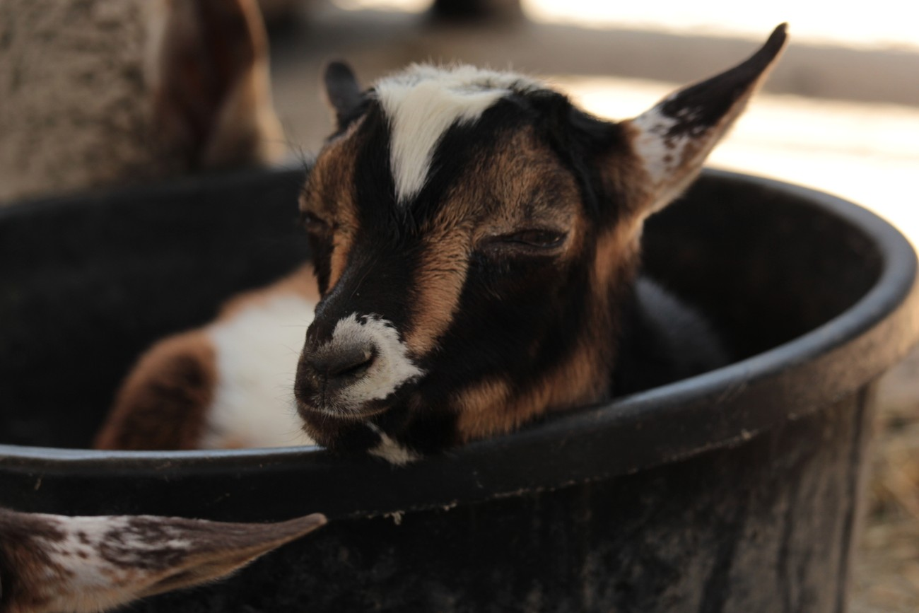 taken in June,2018 at the Scipio Petting Zoo in Scipio, Utah. This baby goat was relaxing in an empty food dish on a hot summer afternoon.