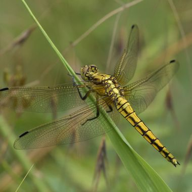 Black-tailed skimmer, female (Orthetrum cancellatum)