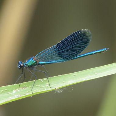 Banded demoiselle male (Calopteryx splendens)