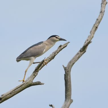 Black-crowned night heron (Nycticorax nycticorax), real wildlife, no ZOO