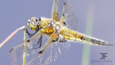 Four spotted chaser dragonfly macro