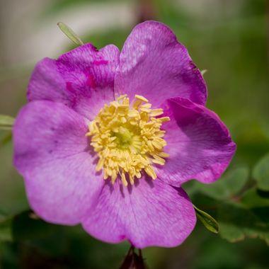 DSC_3381 Pink Rose