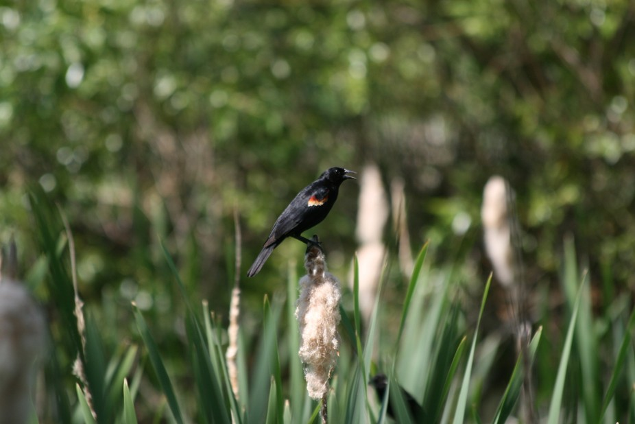 Redwind Blackbird perched on last years cattail
