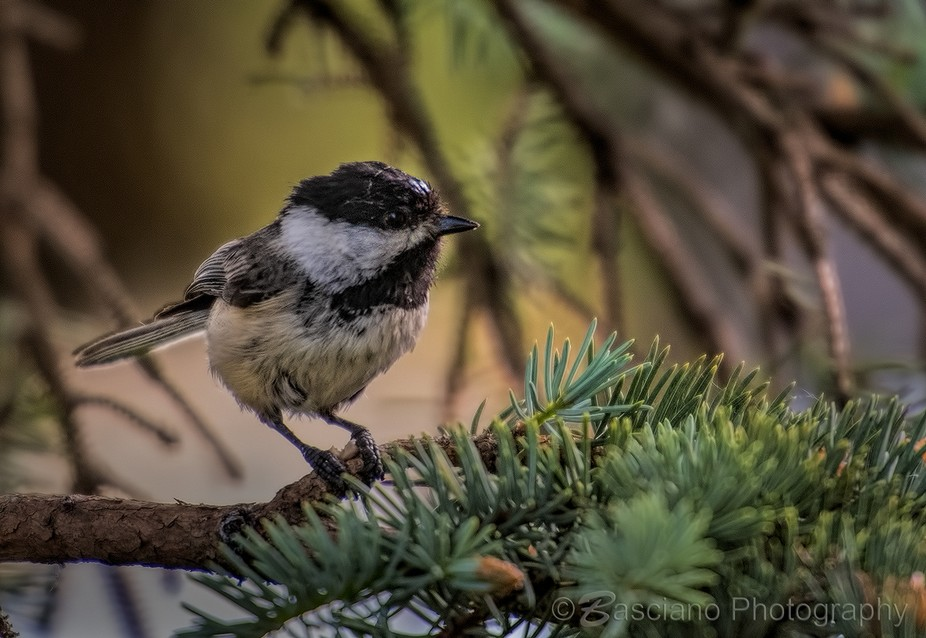 Wet Chickadee Peterborough, Ontario, Canada June 10, 2018  Happy today to see my first bird using...