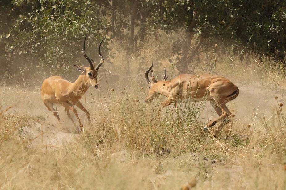 Wild Male Impala, Savuti Camp, Okavango Delta, Botswana, Africa