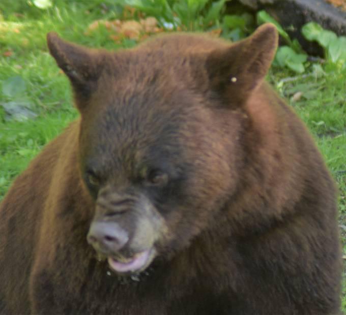 Brown faze black bear at Vince Shutte Sanctuary, free roaming black bears everywhere!