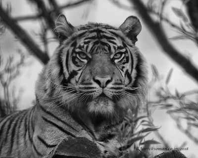 She is a Tigress