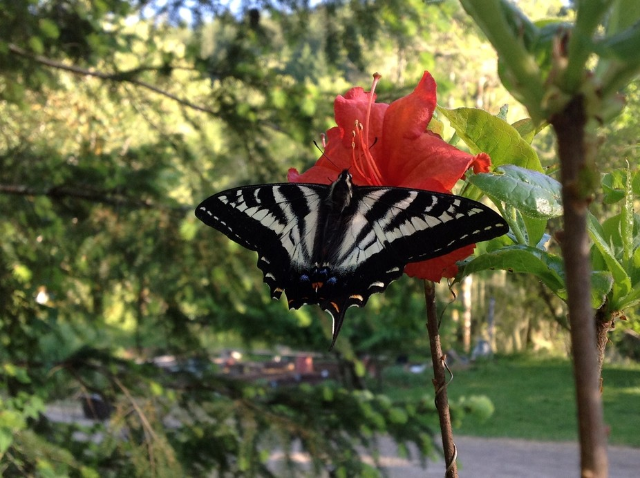 This swallowtail allowed me to carry it to my orange azalea and take pictures - I was watching fo...