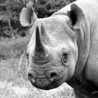 Black Rhino B & W