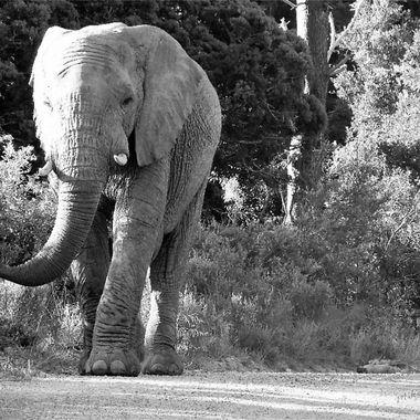 Large Bull Elephant B & W
