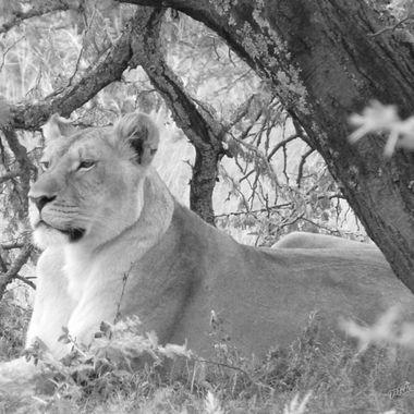 Lioness B & W